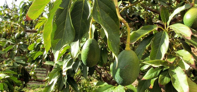 Avocado Oil – The Hidden Benefits Of The Most Nutritious Fruit